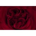 Krwista Róża