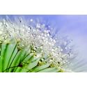 Dandelion z kroplami