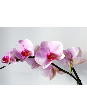 Piękna biała orchidea