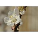 Ładna kwitnąca wiśnia