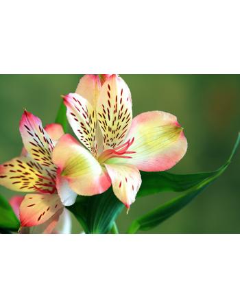 Piękna kolorowa lilia