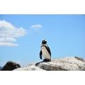 Pingwin na skałach