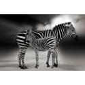 Zebry na pustyni