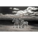 Dzikie Zebry