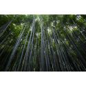 Drzewa bambusowe