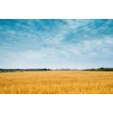 Zbożowa łąka