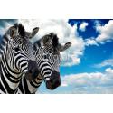 Dwie dzikie Zebry
