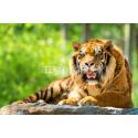 Leżący Tygrys