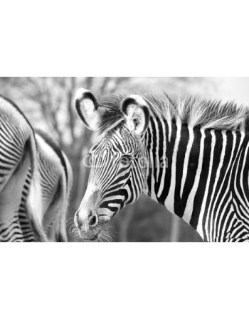 Ładna Zebra