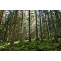 Przebijające się promienie przez las