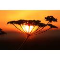 Kwiat na tle zachodzącego słońca
