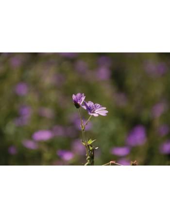Polny kwiat