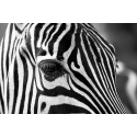 Dzika Zebra