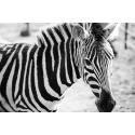 Piękna Zebra