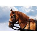 Udomowiony Koń