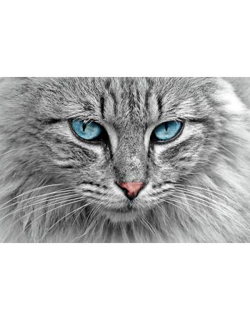 Piękny Kot z niebieskimi oczami