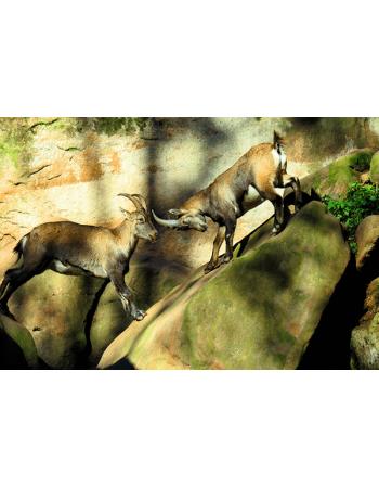 Kozice na skałach