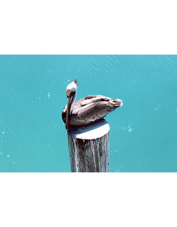 Siedzący Pelikan