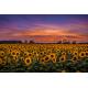 Obraz na płótnie Pole Słoneczników