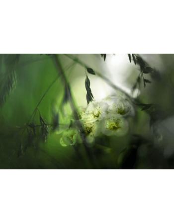 Obraz na płótnie Białe kwiaty
