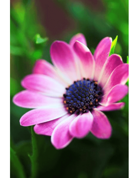 Obraz na płótnie Fioletowy kwiat