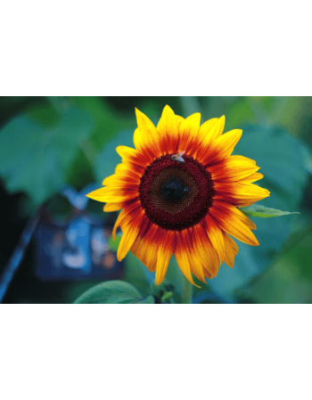 Obraz na płótnie Słonecznik