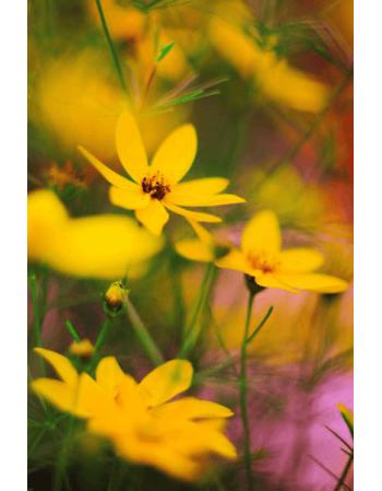 Obraz na płótnie Żółte płatki
