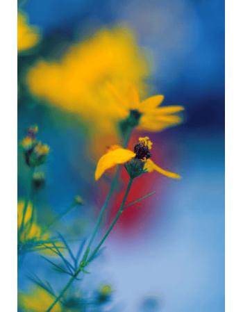 Obraz na płótnie Żółty kwiat