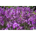 Fioletowe kwiatki