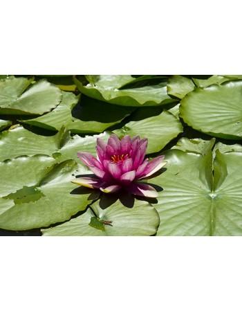 Rózowa lilia wodna na liściu