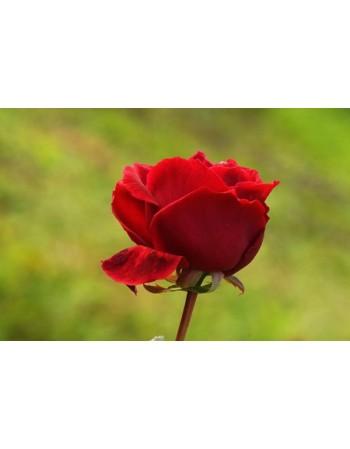 Czerwona róża na polanie