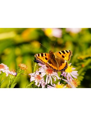 Motyl na kwiacie