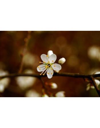 Kwitnący kwiat wiśni