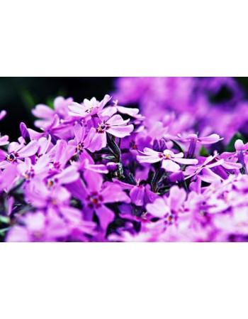 Przepiękny fioletowy kwiat